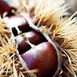 Macro image of chestnuts in their pod